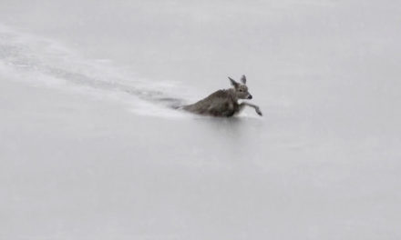 Deer Swims to Safety: Mahoney's Beach